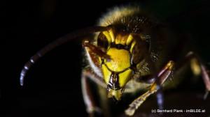 Honisse auf Fallobst