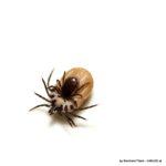 Paarung von Zecken: Männchen am Bauch des Weibchens